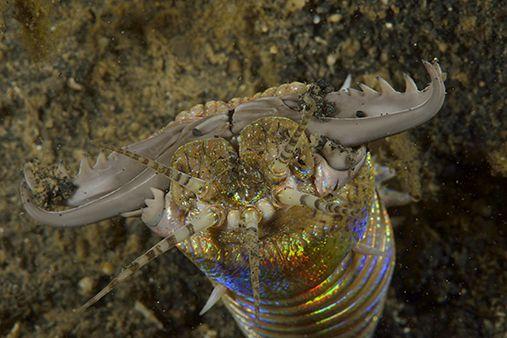 Eunice aphroditois (colloquially known as the Bobbit(t) worm) is an aquatic very effective predator.  Conocido coloquialmente como el gusano bobbit este gusano es chiqueto pero matón.