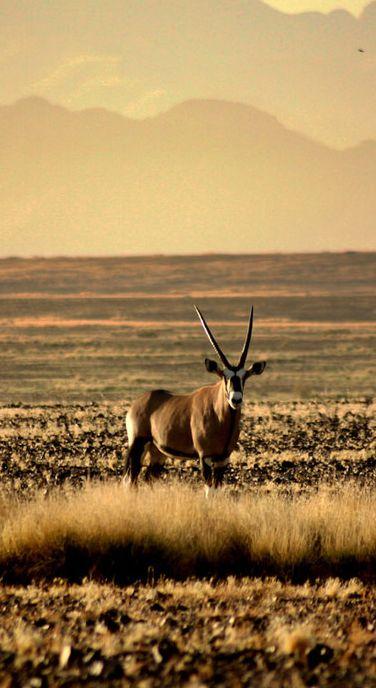 Gazelle Oryx dans le désert du Namib, en Namibie / Source : Communauté photo GEO, © Anaëlle Collet