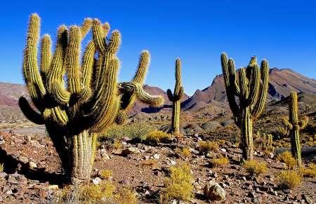 Cactus candélabres