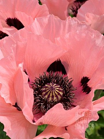 photo: Papaver oriental  (Oriental Poppy) ...  gorgeous close-up of pink poppies ...