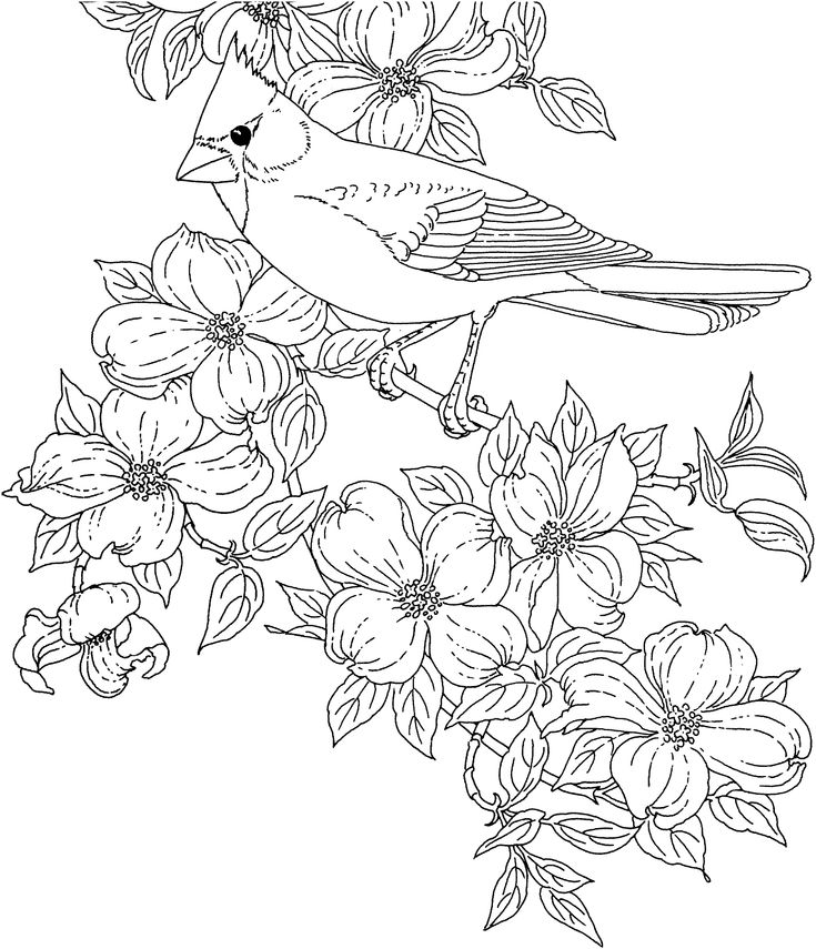 Free Printable Coloring Page...Virginia State Bird and Flower, Cardinal, American Dogwood, educational printables