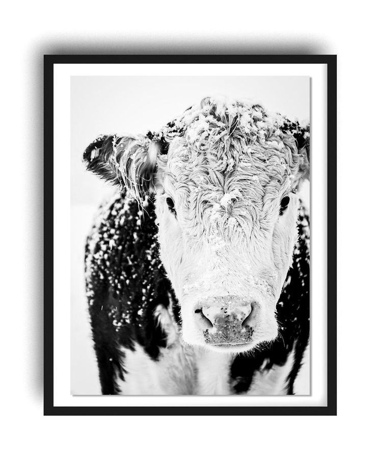 Hereford cow photo print black and white cow print