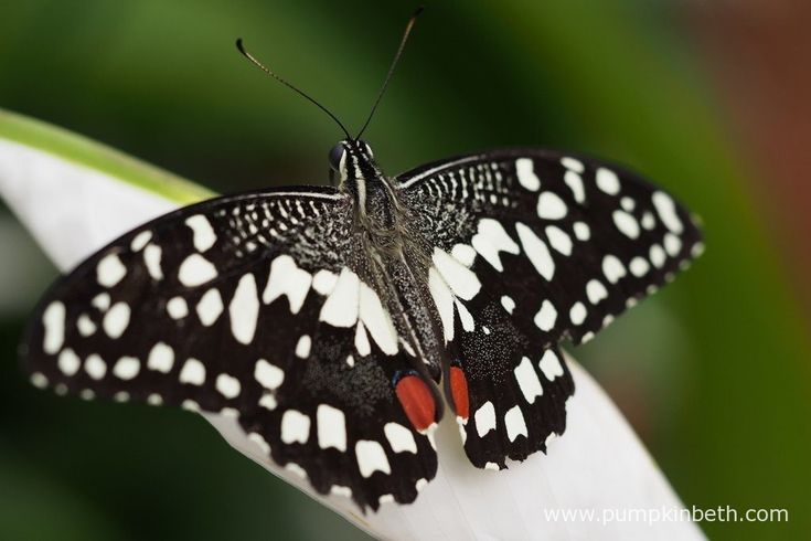 A Chequered Swallowtail butterfly, also known by its scientific name of Papilio demoleus, pictured resting on an Anthurium flower, inside the Butterfly Dome, at the RHS Hampton Court Palace Flower Show 2017.