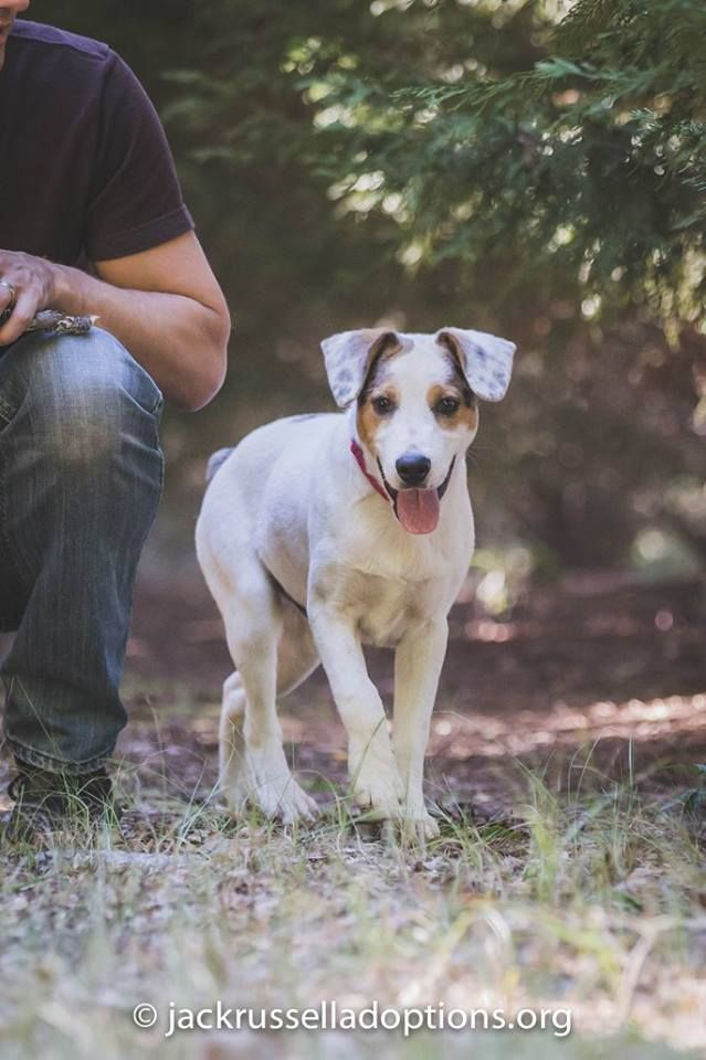 Georgia Jack Russell Rescue, Adoption and Sanctuary | Adoptable Puppy, Merrill #adopt #dog