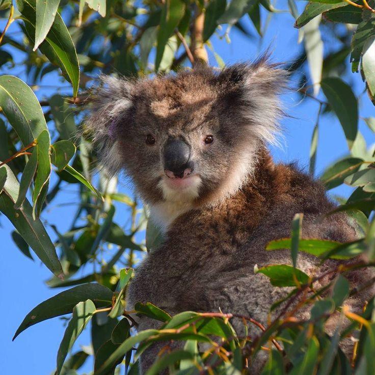 Vi mener koalaen er et av verdens søteste dyr!  Er du enig? #australia #wowaustralia #visitaustralia #koala #dyreliv #greatoceanroad #visitvictoria @australiareiser @australia #natureaddict #reise #reiselyst #magasinetreiselyst by magasinetreiselyst