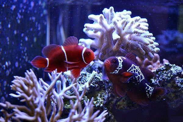 Lightning Maroon Clownfish Tank Raised Medium Clown Fish Fish Pet Maroon