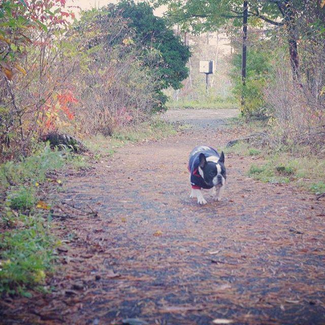 #スーとカナ#スー#すー#愛犬#相棒#パートナー#癒し#フレブル#清里のスーちゃん #フレンチブルドッグ #パイド#鼻ぺちゃ#ブヒ#バーク清里看板犬#八ヶ岳#標高1500M#森#別荘地#お散歩 ・ #スーを家族と会わせてあげたい #家族を探しています! 血統書は兄がカナダに行くときに大切にしまいこんでしまったようで。。😭 スー2003.9/23生まれ ♀ #東京育ち#山梨移住