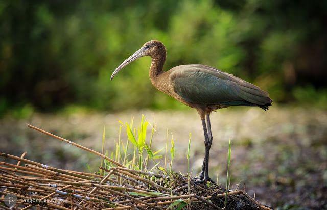 Glossy Ibis (Plegadis falcinellus / Tiganus)