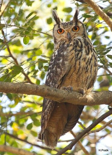 ♡♡♡ Indian Eagle-Owl from India 15 August 2015 ♡♡♡
