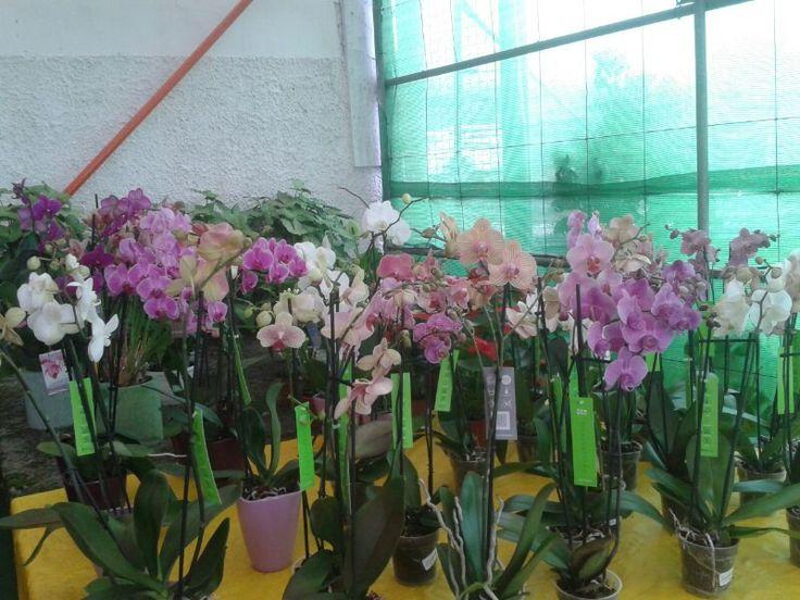 Phalaenopsis. Orquídeas mariposas.  Las más populares del Mercado. Híbridos de muchos colores.  Mucha luz sin Sol directo.  Ambientes cálidos y húmedos. Usen abonos específicos, una vez a la semana mientras florece y luego bastará con hacerlo cada 15 días.  Los riegos cada vez que el sustrato este casi seco.  Dependerán de la temperatura ambiente de cada momento.