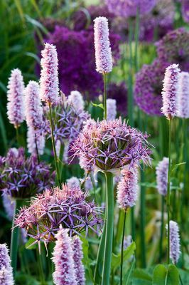 PETTIFERS, OXFORDSHIRE: DAWN LIGHT ON BORDER PLANTED WITH ALLIUM CHRISTOPHII AND PERSICARIA AFFINIS SUPERBUM