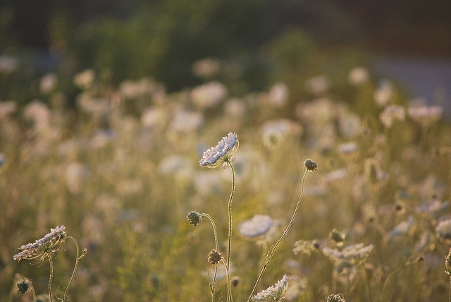 Queen Anne's Lace by Tjololo Photo, via Flickr.: Tjololo Photos, Queen Anne Lace, Queen Annes Lace
