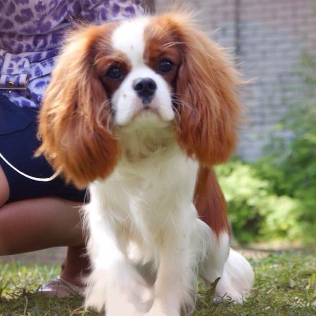 Dog Grooming In Riga: Cavalier King Charles Spaniel. Post By Ville_from_latvia