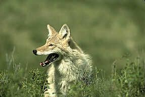 Coyote: Description, Habits and Control of Coyotes #dallas #rodent #control http://connecticut.remmont.com/coyote-description-habits-and-control-of-coyotes-dallas-rodent-control/  # Coyotes The coyote, usually found only in the northwest corner of theUnited States, has adapted to changes caused by human development. The scientific name for coyotes,They have been spotted as far North asAlaskaandNew England, and now as far South asFlorida. Coyotes are now being commonly spotted in many urban…
