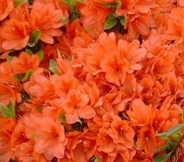 Springtime in the South - Orange Azaleas - I've seen these around and need to get some