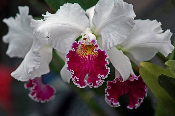 Cattleya Orchid Cattleya Orchid Orchids Air Plants Cattleyas The Corsage Orchid Are Among The Most Commonly Grown Orchids Orquideas Orquidarios Natureza