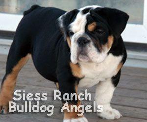 AKC English Bulldog Puppies | English Bulldog for Sale Kansas | Black Tri Color Bulldog Puppy | Pups KS