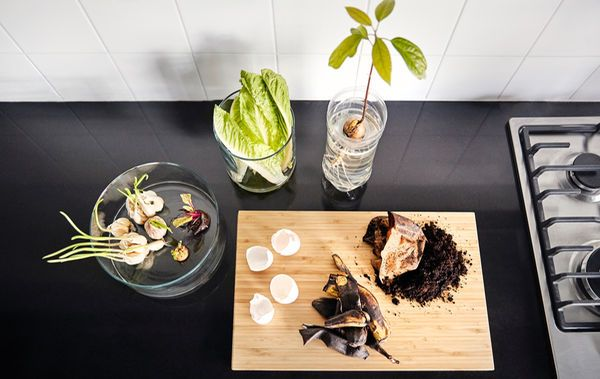 Eggeskall og kaffegrut på ei skjærefjøl i tre ved siden av spirende hvitløk og løk i en sylinderformet glassvase, et visnende salathode i en glassvase med litt vann og en spirende avokadostein i en plastbeholder.