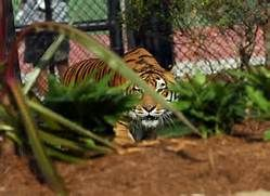 Lsu Tiger Mascot Habitat Mike the tiger voted one of nation's best ...