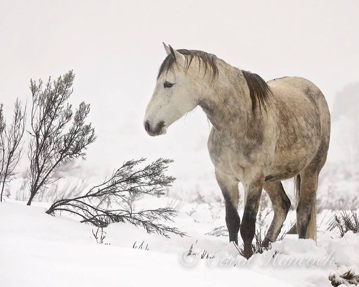 Paleface, A true Brumby Stallion, as honest as they come and loyal to his mob. He has given the gift of allowing us into his world many times over. Photo Copyright to Carol Hancock