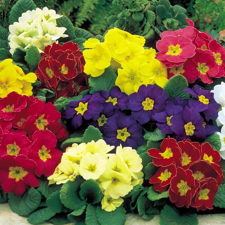 Polyanthus primrose - a shade loving plant, similar to a pansy - beautifully vibrant color and moderately easy to care for