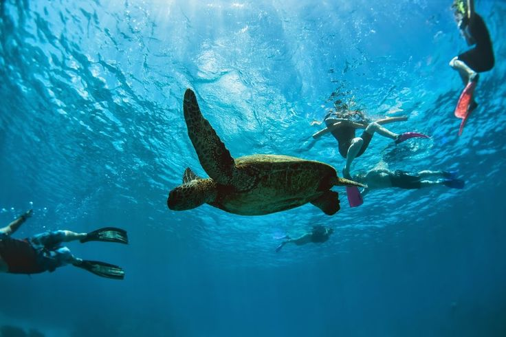 Of the six species of sea turtles found in Australian waters, three species are commonly seen in the waters around Lady Elliot Island - a coral cay situated at the southern tip of the Great Barrier Reef.