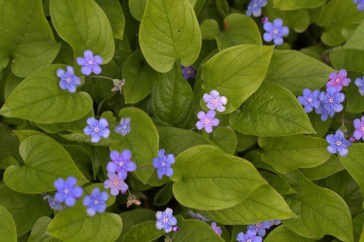 Kevään ensimmäisiä monivuotisia kukkijoita #kevätkaihonkukka #valokuvaus #toukokuu