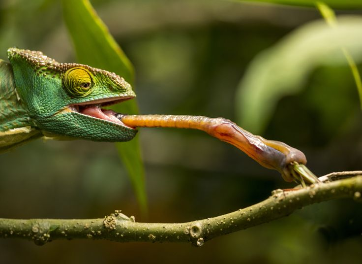 picture of a Parson's Chameleon licking tongue to catch grasshopper at ...