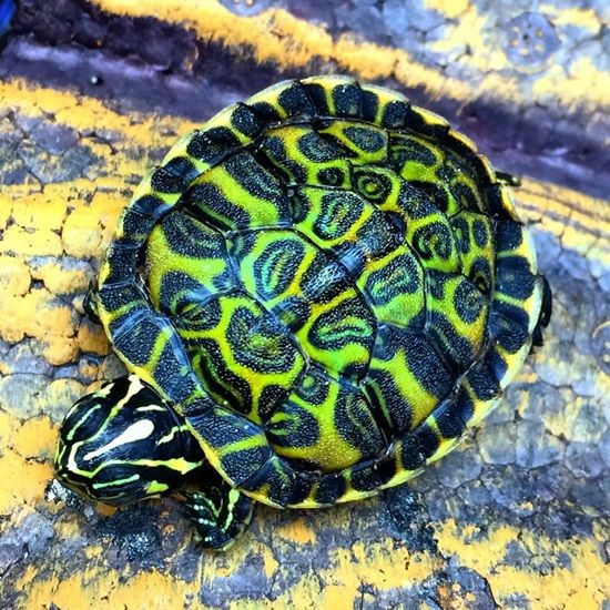 Florida Red Bellied Turtle