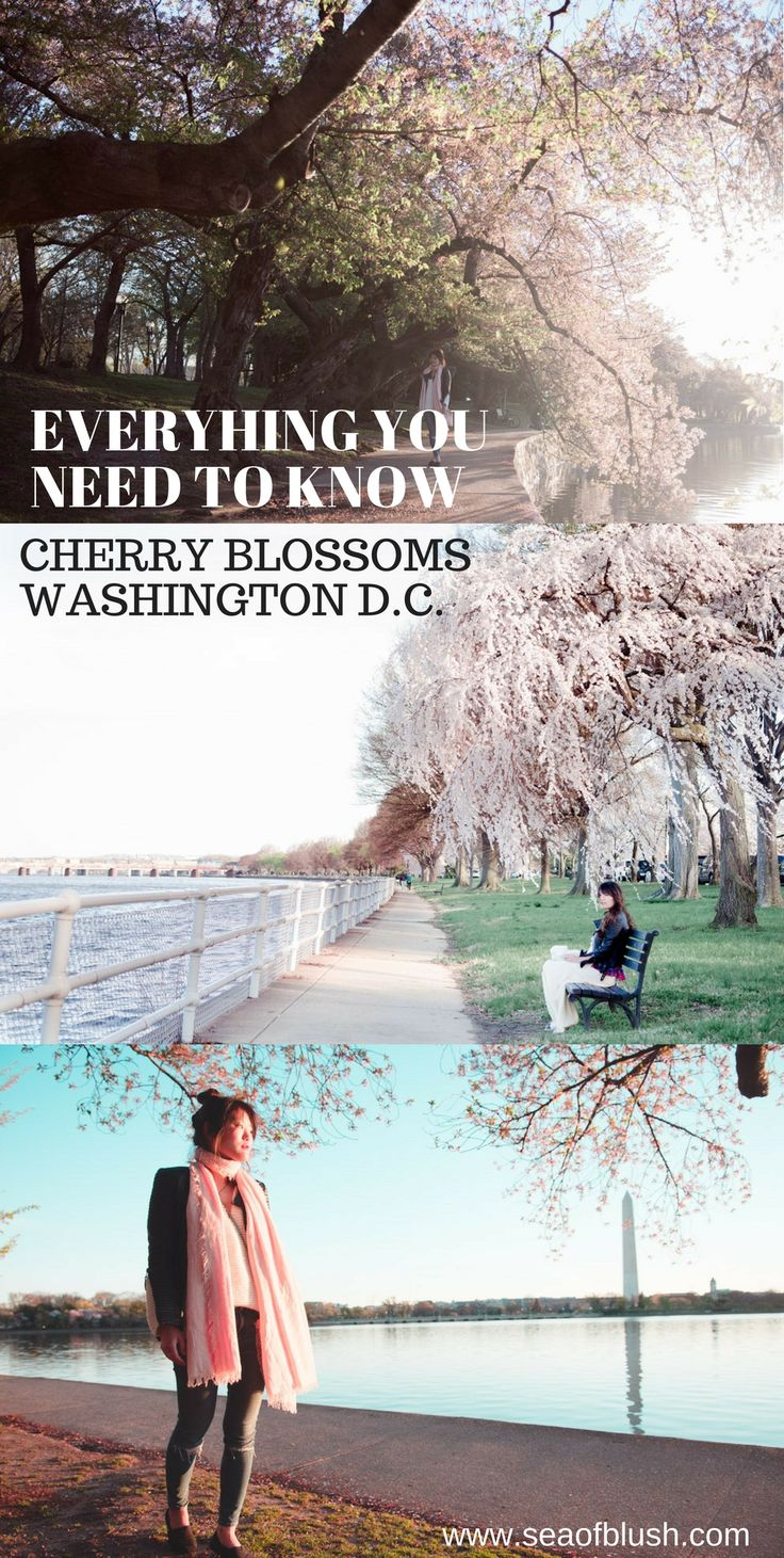 Cherry Blossoms DC, Washington DC Cherry Blossoms, Tidal Basin Cherry Blossoms, Cherry Blossom Peak Bloom, Cherry Blossom Weather DC, #washingtondc #travelblog #travelgram #cherryblossoms