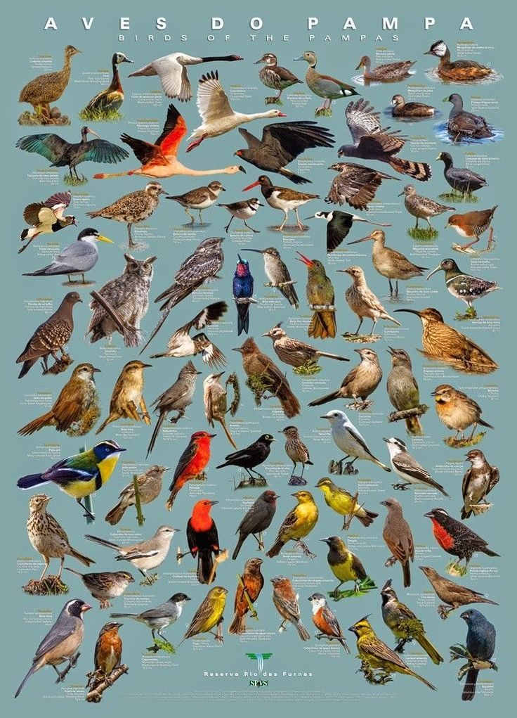 Fotógrafo cria pôster com 77 aves características do Pampa