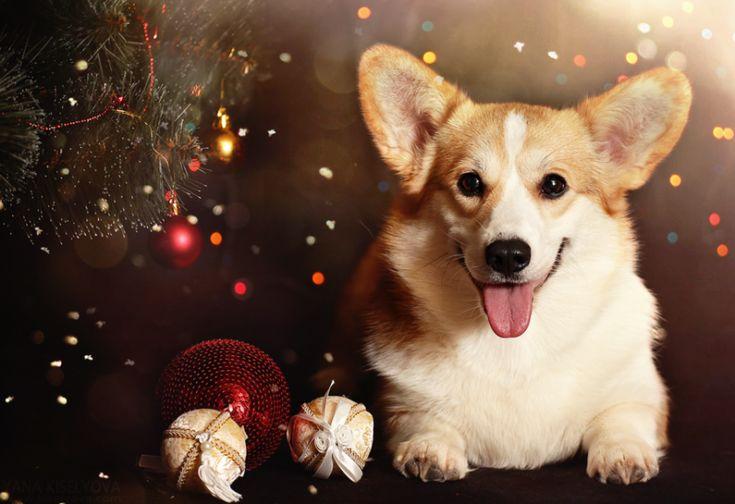 Картинки по запросу корги и новый год
