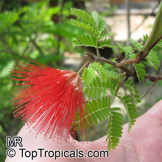 Calliandra californica, Baja Fairy Duster evergreen, woody shrub which is native to Baja California, Mexico. Flowers all year on and off. Great near swimmingpools. 4 – 5 ft. high and wide