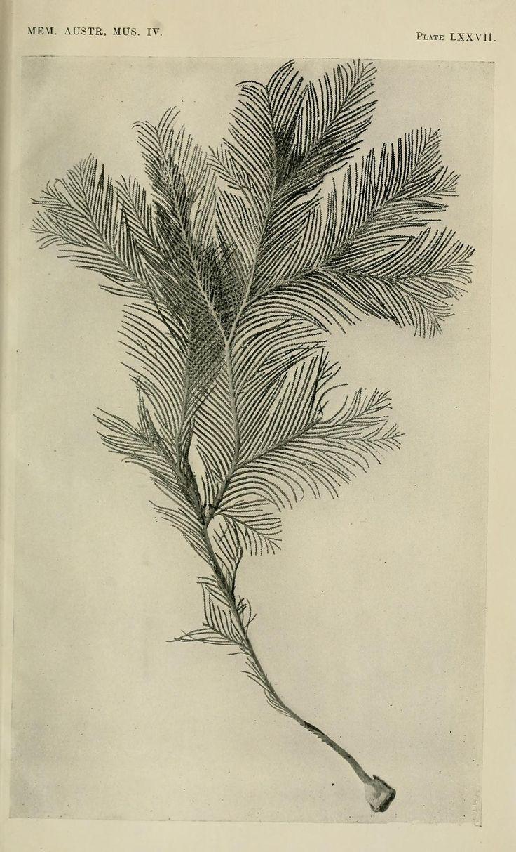 Plumarella corruscans, sp. nov. Memoirs, Australian Museum, 1851