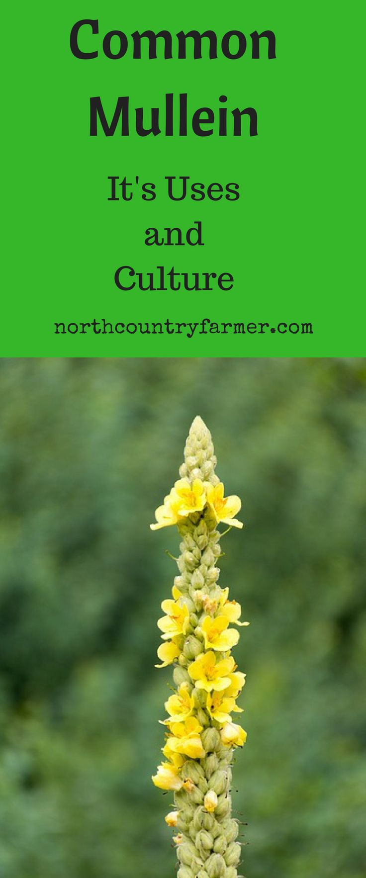 Common Mullein.  Uses and Culture. Medicinal plant