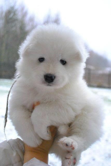 Chiot samoyède / chien blanc