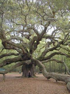 .::: TIAGO MENDES :::.: A história do carvalho (Árvore) - Para uma pessoa ...