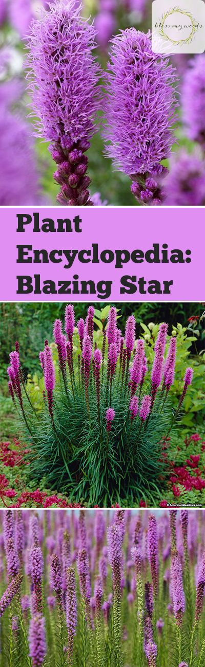 Plant Encyclopedia: Blazing Star - Bless My Weeds