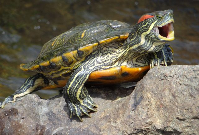 Red Eared Slider Turtle - had one of these bite  me  ONCE... he lived to tell about it.