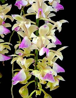 Orchid: Aerides (odorata x houlletiana)
