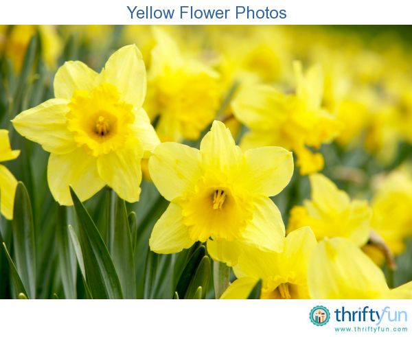 This page contains yellow flower photos. Beautiful flowers are a joy anytime of year.