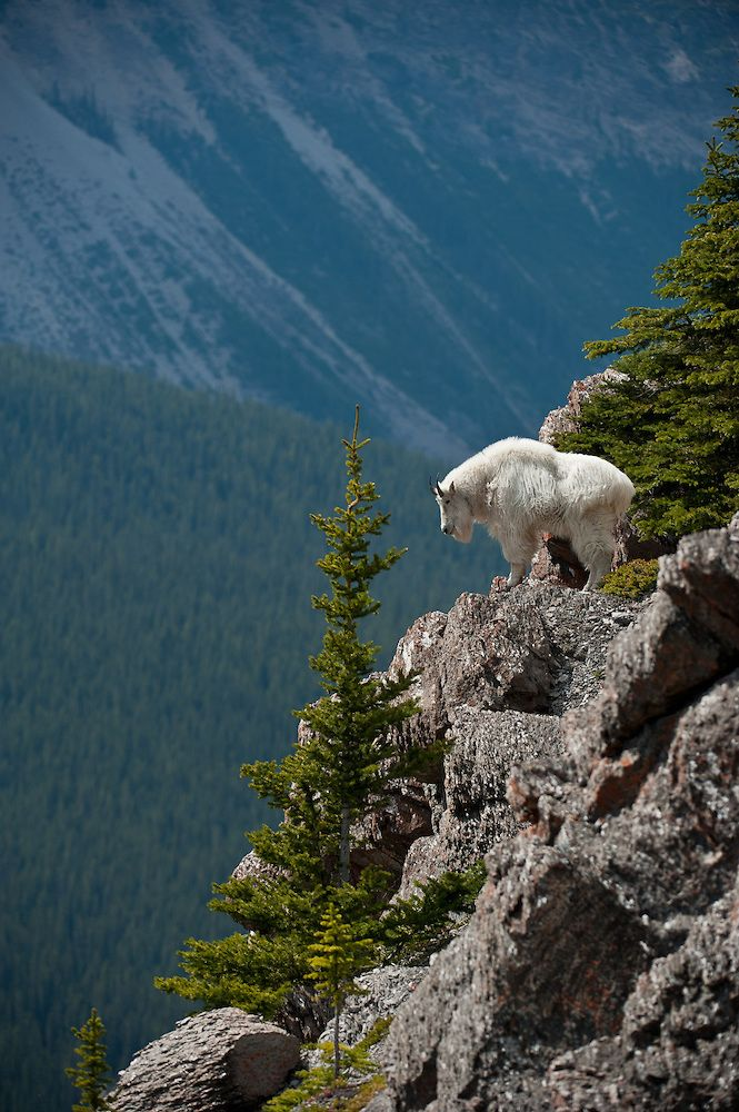 Oreamnos americanus (mountain goat)