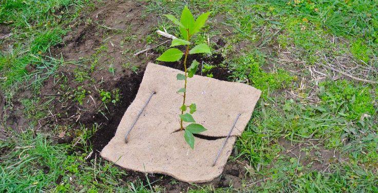 75 best images about jeunes plants d 39 arbres et d 39 arbustes baumsetzlinge und str ucher tree - Comment planter un cerisier ...