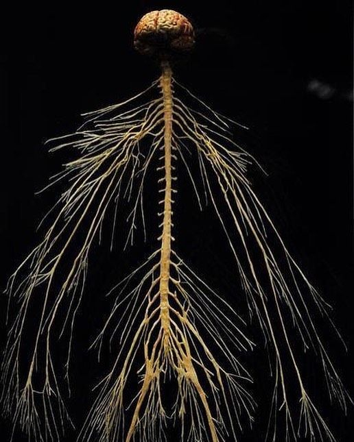 Central Nervous System: The central nervous system is divided into two parts…