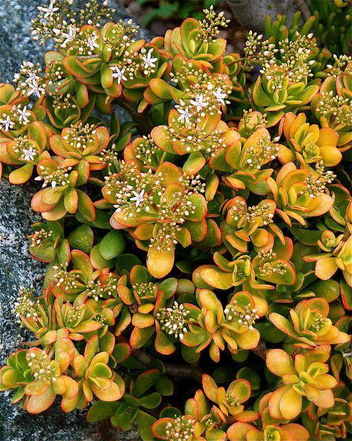 Crassula ovata 'Hummel's Sunset Jade' | Flickr - Photo Sharing!