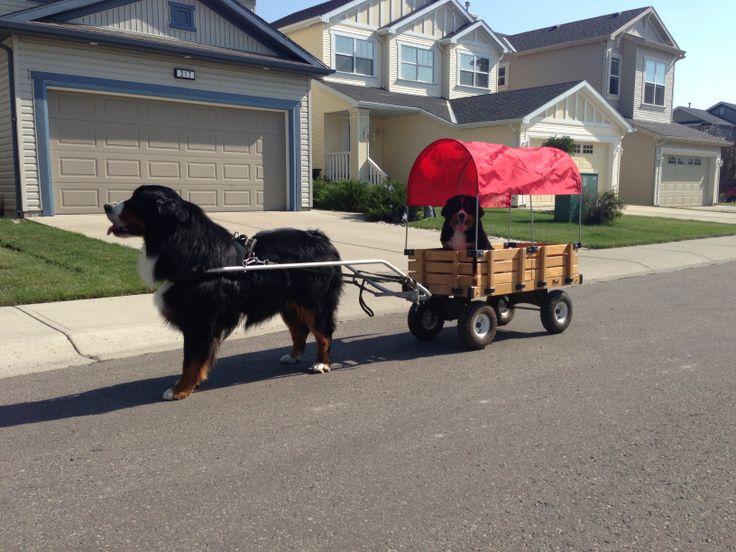Bernese Mountain Dog pulling Berner puppy in cart