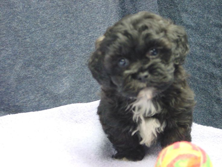 Bichon, Shih Tzu, Poodle puppies for sale in St. Paul/Mpls