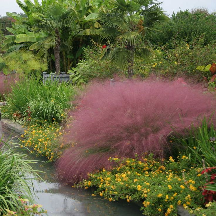 Pink muhly grass gardens pink and florida for Ornamental grass with pink flowers