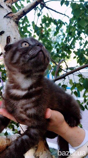 Шотландский вислоухий мальчик от родителей чемпионов.Котику 2,5 месяца.Рисунок тигровый пятнистый.Редкий цвет- шоколадно-каштановый.Ушки хорошо...