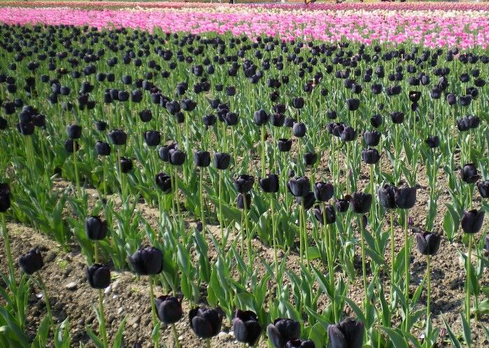 上湧別チューリップ公園は北海道にあります